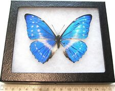 REAL FRAMED BUTTERFLY BLUE MORPHO CYPRIS SMALLI REPAIRED PANAMA S2
