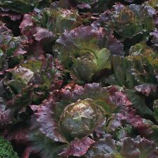 Lettuce Tuska Economy Pack 15 Seeds Vegetable Organic