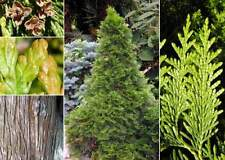Western Red Cedar.   200 seeds.    trees, seeds