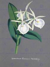 Painting book page orchid collection epidendrum eburneum art print poster HP1578