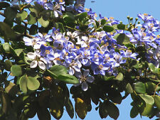 *1000 Seeds Lignum Vitae or Guaiacum Officinale*Free Shipping*
