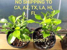 Organic Kaffir Lime Tree, Citrus Hystrix, Makrut, Live Healthy Trees