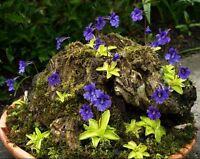 Pinguicula Vulgaris ~ Butterwort Carnivorous ~ Valentine's Flower Rare 10 Seeds