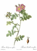 """1990 Vintage REDOUTE ROSE """"THREE FLOWERED SWEETBRIAR"""" COLOR Art Print Lithograph"""