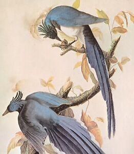 John James Audubon Birds MAGPIE-JAY Original Vintage Art Book Plate