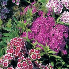 Sweet William Messenger Mixed Approx 2000 seeds - Annuals & Biennials