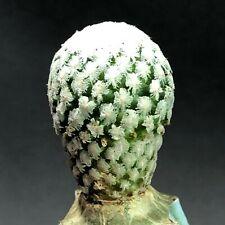 1540. Turbinicarpus valdezianus  / RARE CACTUS lithops CAUDEX