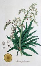 Rheum palmatum RABARBARO Turkish Rhubarb GAMBO stipsi medicina gerbstoff