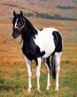 Tobiano Point Stallion Horse Spotter Animal Wall Decor Art Print Poster (16x20)