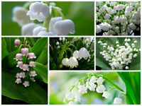100 Lily of the Valley Flower Seeds Convallaria 20 Kinds Perennial Garden  Plant
