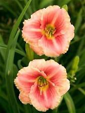 RARE Daylily bulbs LITTLE ANNA ROSA Hemerocalli garden plant,  NO SEEDS, tubers