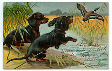 CHIEN. DOG. TECKEL. DACKEL.DACHSHUND. CHASSE AUX CANARDS.GO HUNTING IN DUCKS.