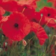 Wildflower Seeds - Field Poppy - 40,000 Seeds