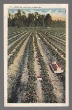 [50654] OLD POSTCARD STRAWBERRIES GROWING IN FLORIDA