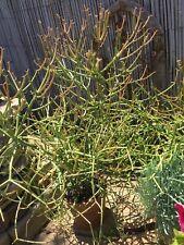 Twelve 12�-14� Firestick Succulent Cuttings Euphorbia Tirucalli Pencil Cactus