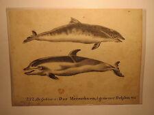 Delphine - Das Meerschwein - gemeiner Delphin / Druck 1826