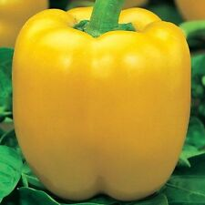 Seeds Sweet Pepper California Miracle Bell Golden Yellow Organic Russian Ukraine