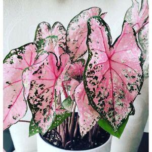 2 Bulbs of Caladium Pink Beauty Tropical Elephant Ear Heart of Jesus Angel Wings