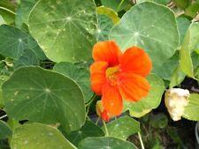 30 Jewel Mix Nasturtium Seeds - Tropaeolum majus Bush Type, Easily Grown, Edible
