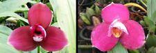 "orchid / orchidee Lyc Kiama ""10"" x(Lyc Fire Bird x Geyser Gold) (L10)"
