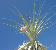 gardneri tillandsia airplant 5 inch tall size air plant oahu hawaii