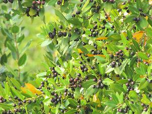 Laurus nobilis / Bay leaf / Lorbeer / Laurel / Lorber 30 BIO seeds from Croatia