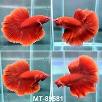 (MT-89581) Solid Red Rose Fancy Tail Over Halfmoon Live Male Betta Fish Grade A+