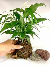 Indoor Plant Kokedama Peace Lily Moss-ball Indoor Garden A Perfect Mother's Gift