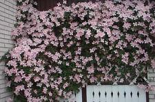 Clematis  Montana 'Rubens' Plug Plant Vigorous Climbing mauve- pink Flowering