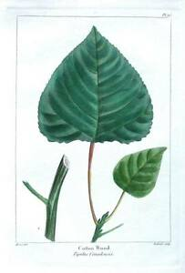 COTTON WOOD, POPULUS CANADENSIS ,  Bessa Antique Botanical Tree Print c1850