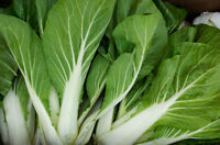 Chinese Cabbage Seed: Baby Choy 100+ Seeds CERTIFIED ORGANIC  Fresh seed