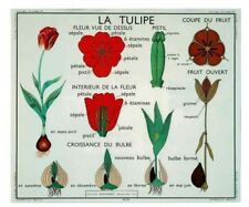 Poster set de table  Affiche Scolaire  la tulipe fleur bulbe N°13