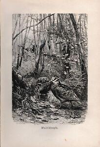 Antique 1892 Brehm Waldschnepfe Woodcock Brehm's Tierleben Chromolithograph B&W