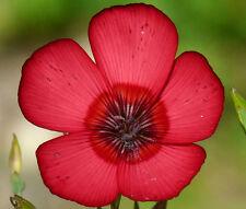 Flax Red Annual Linum Grandiflorum Rubrum - 5,000 Bulk Seeds