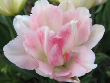 """5 Pink Double Late Tulip Bulbs """"Angelique"""" *Pre-Chilled for Indoor Forcing"""