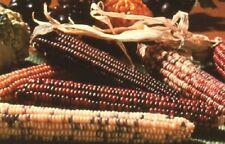 100 Indian Corn Seeds Ornamental Corn FALL DECORATION