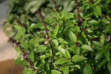 100 SEEDS Basil THAI SIAM QUEEN purple flower horapha herb