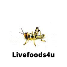 More details for live medium locusts 50 bulk in tubs (18-28mm) fresh livefoods reptiles birds