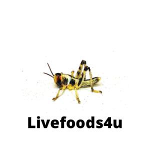 Live Medium Locusts 50 Bulk In Tubs (18-28mm) Fresh Livefoods Reptiles Birds