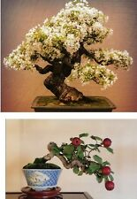 Apple tree ideal for Bonsai use, small leafs and small fruit. Outdoor bonsai.