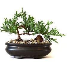Zen Juniper Bonsai Tree Little Garden Live Japanese Pot Indoor Decoration Home