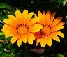 GAZANIA KISS ORANGE Gazania Rigens - 200 Bulk Seeds