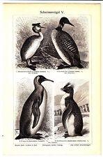 1907  SWIMMING BIRDS  PENGUIN DUCK Antique Lithograph Print
