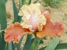 Tall bearded iris October dreaming