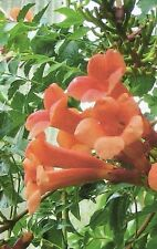Trumpet Vine Cow Itch Vine Humming Bird Vine Red Orange Bloom Perennial