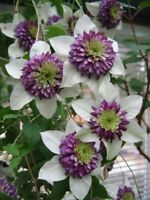 25 White Purple Clematis Seeds Large Bloom Climbing Perennial Garden Flower 503