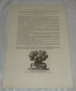 c1750 Antique Floral Print/STONEY CORAL, or, WHITE CABBAGE BLOOM