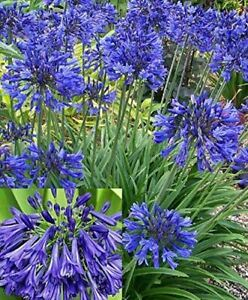 3x Agapanthus Blue Perennial Plants African Blue Lily in 9cm Pots