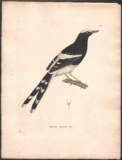 Nicolas Huet. Oiseau Enicure couronné mâle. Eau-forte. 1838
