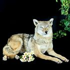 BR35 Taxidermy Oddities Curiosities Coyote Prairie Wolf Collectible Full Mount